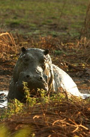 Hippo Hide