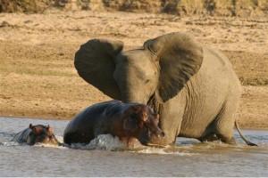 wildlife hippo elephant africa