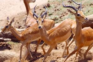 wildlife zambia safari