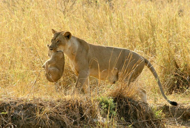 Lion cub wildlife safari