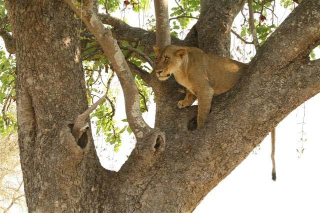 Lions predators africa