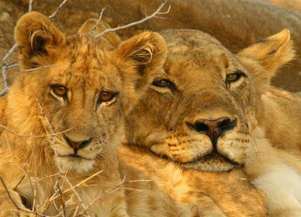 lion pride wildlife zambia