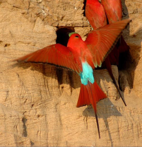 bee eater africa