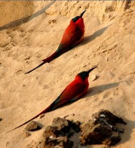 birds africa