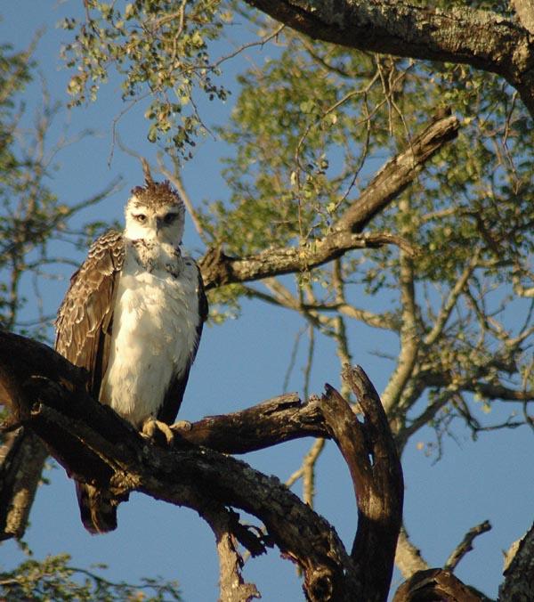 bird of prey africa