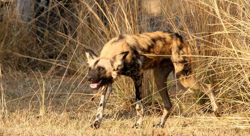 wildlife predators africa