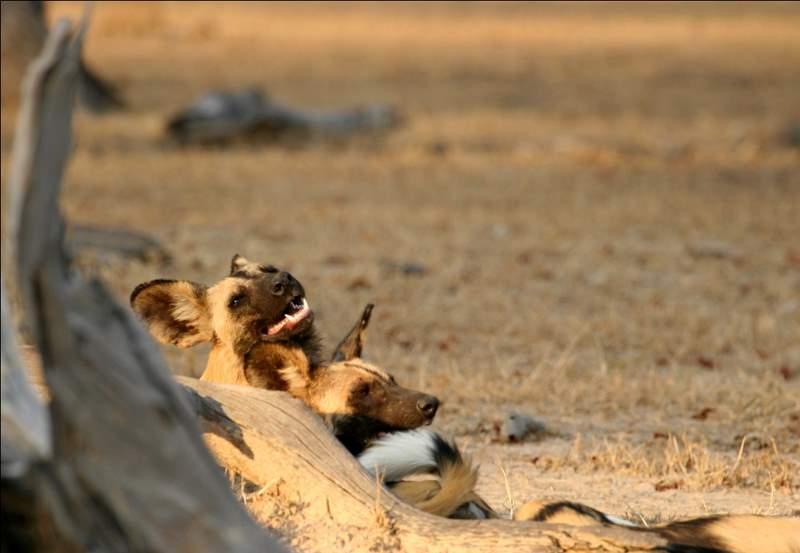 African Safari Zambia