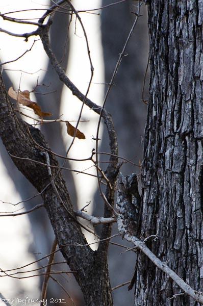 birding scops owl