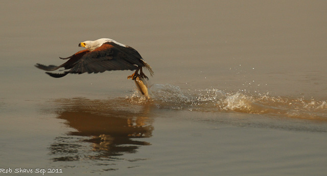fish eagle zambia