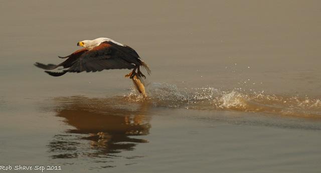 fish eagle zambia