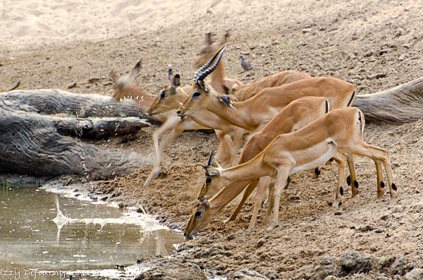antelopes Africa