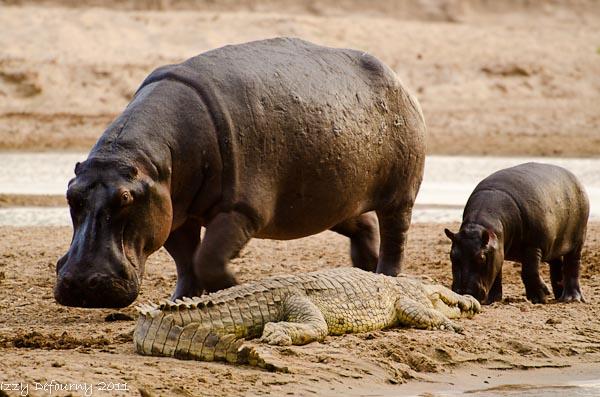 crocodile africa