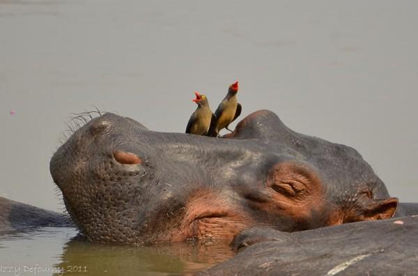 oxpecker hippo