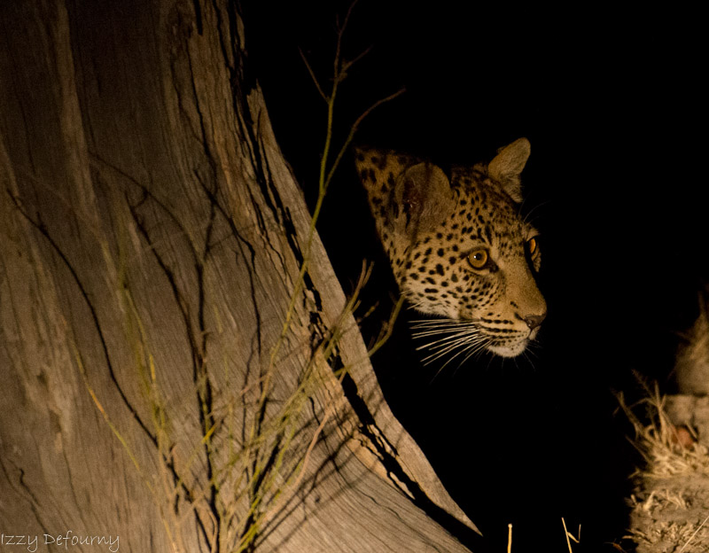 leopard wildlife kaingo