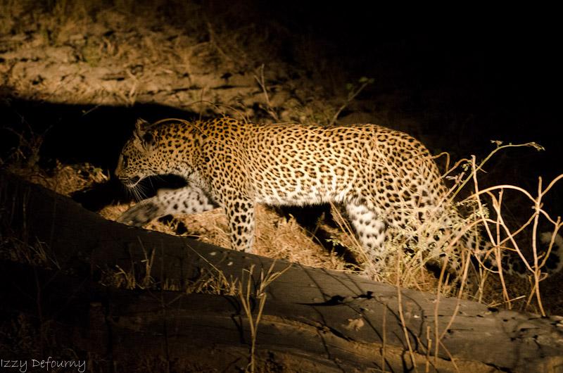 Kaingo predator safari