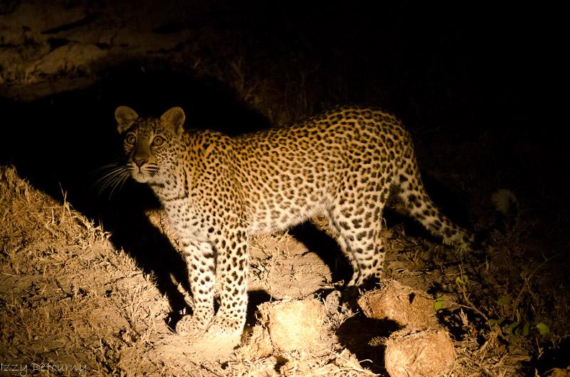 leopard wildlife zambia