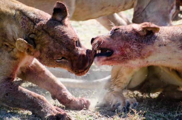 lion safari luangwa