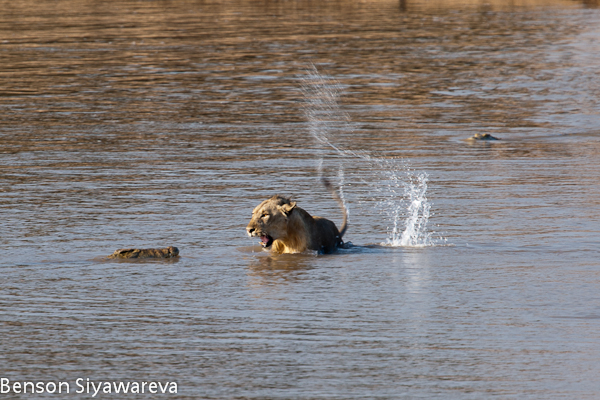 Crocodilos vs Grandes felinos. (Interação, concorrência, predações, etc). Watermarked-32961