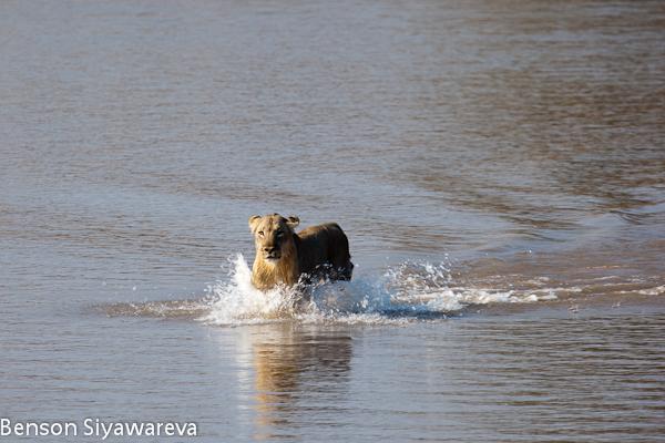Crocodilos vs Grandes felinos. (Interação, concorrência, predações, etc). Watermarked-33161