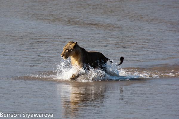 Crocodilos vs Grandes felinos. (Interação, concorrência, predações, etc). Watermarked-33241