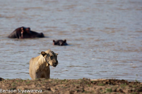 Crocodilos vs Grandes felinos. (Interação, concorrência, predações, etc). Watermarked-33351
