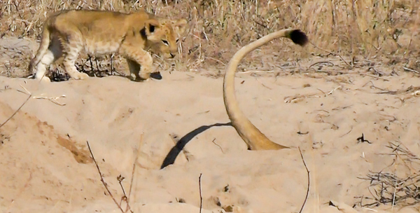 Lioness in search of warthog