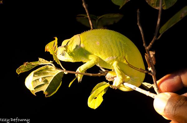 Chameleon (2)