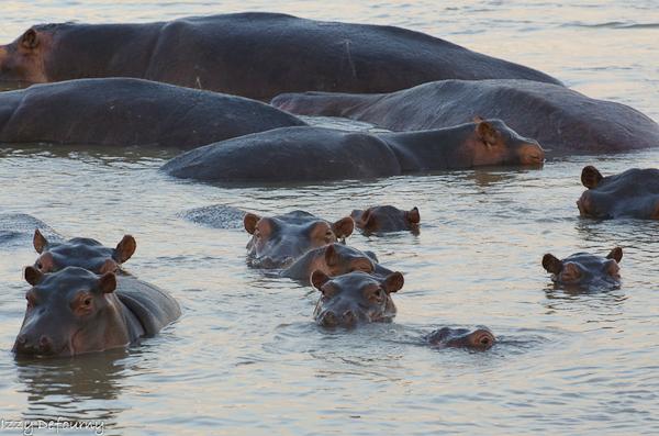 hippo (3)