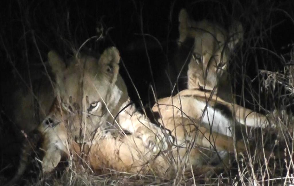 Lion Kill Jun 26