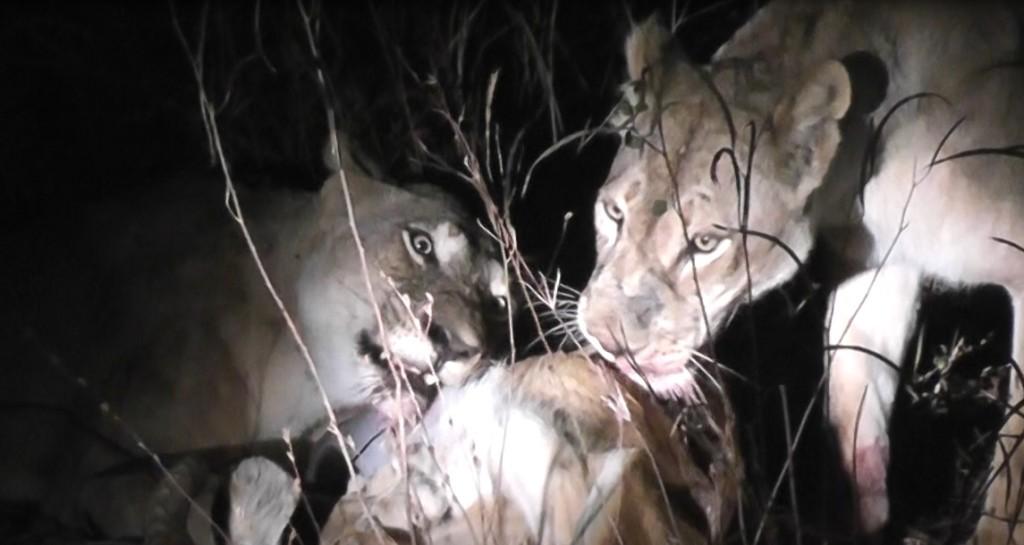 Lion kill Jun 26 (2)
