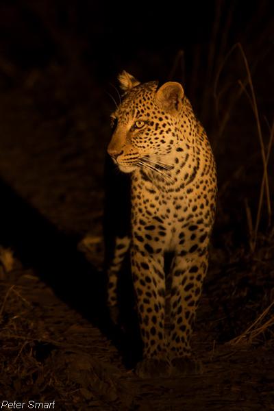 Peter Smart Leopard (1)