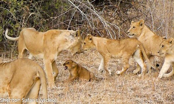 cub killed video  (1)