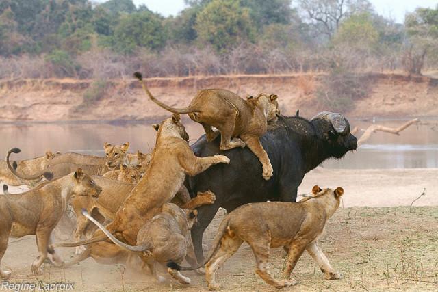 Lions Regine Lacroix (1)