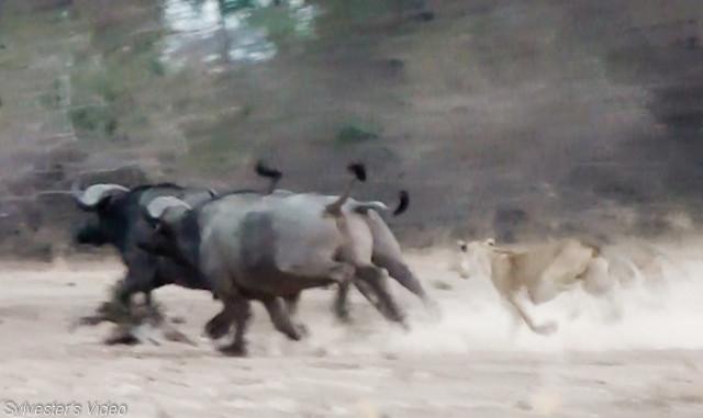 Nsefu lions chasing aug 29
