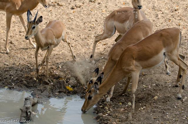 impala (1)