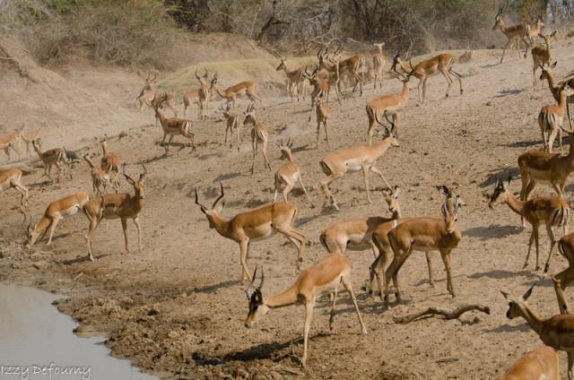 impala (2)