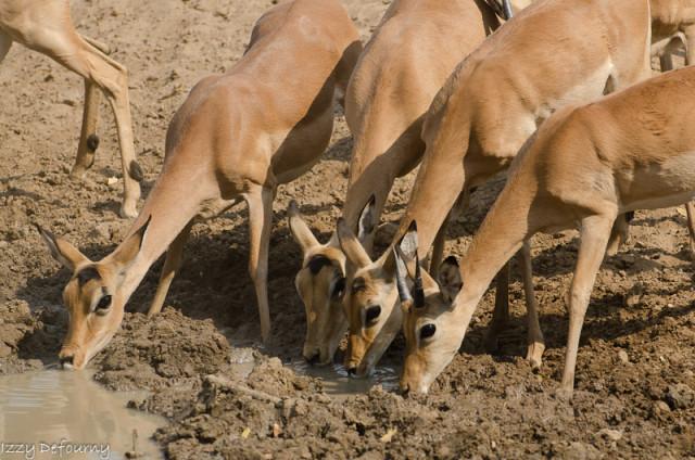 impala (4)