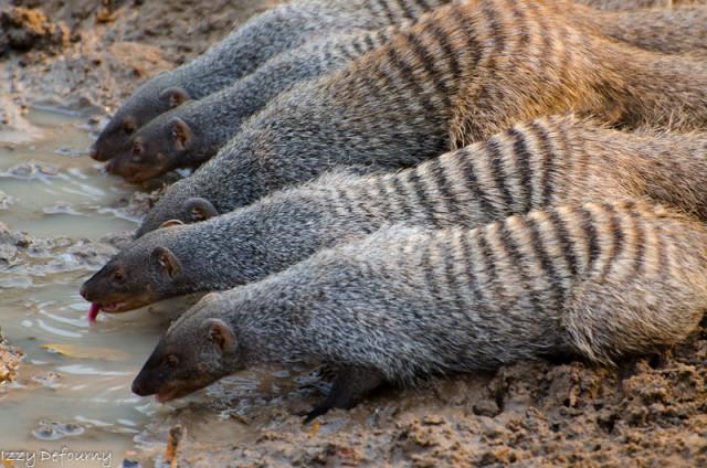 izzy mongooses