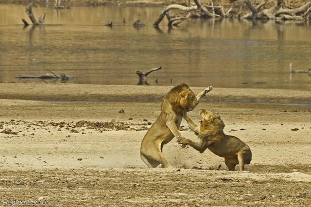 lions regine lacroix