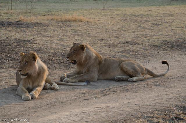 nsefu lions izzy (2)