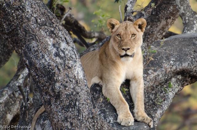 nsefu lions izzy (3)