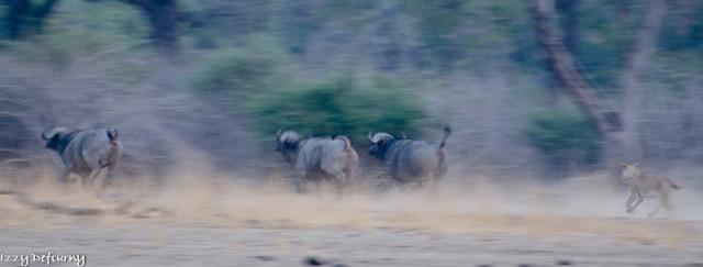 nsefu lions izzy (5)