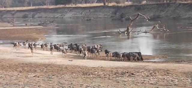 wildebeest (1)