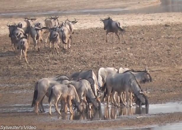 wildebeest (2)