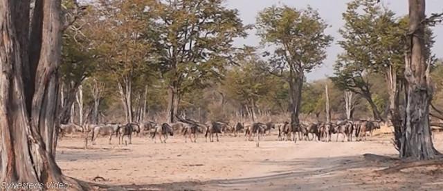 wildebeest (3)