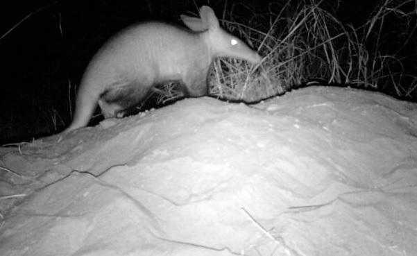Aardvark still 1