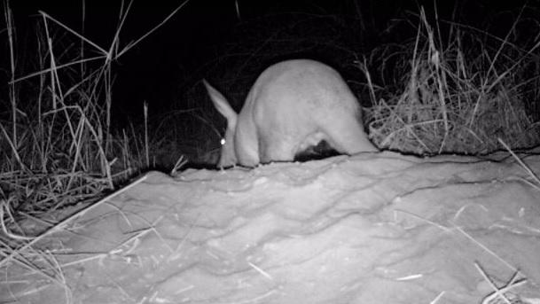Aardvark still 3