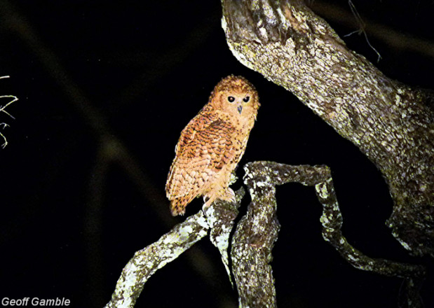 Geoff pels owl