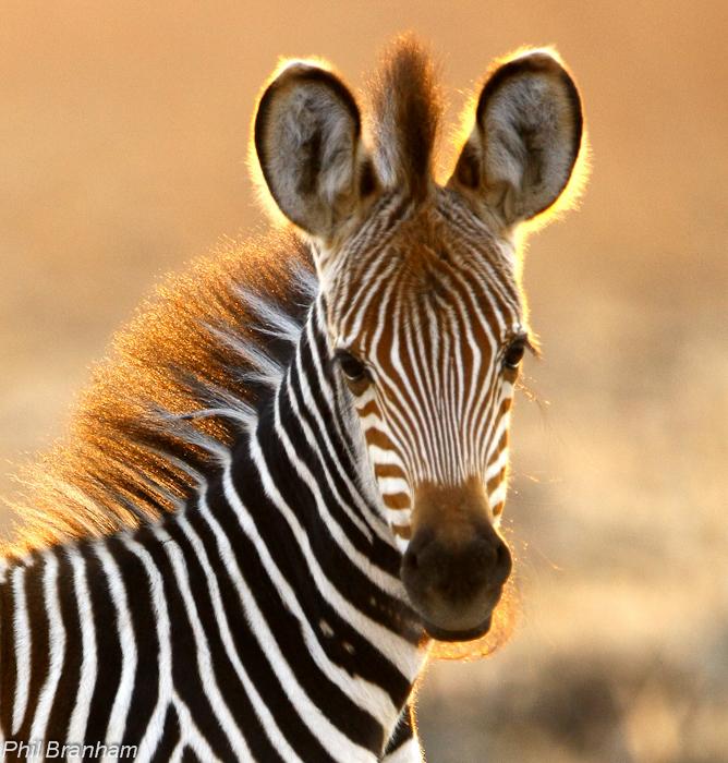 Zebras of South Luangwa