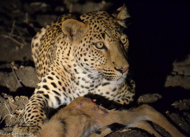 izzy leopard (1)